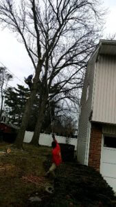 Trimming Trees located near to electric Lines